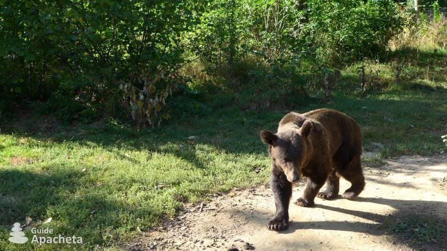 Les ours des Carpates